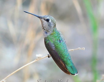 Hummingbird Art, bird photography, nature art, green and gray home decor, hummingbird gift, bird wall art, fine art print