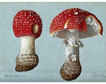 antique mycology print amanita muscaria fly agaric illustration DIGTAL DOWNLOAD
