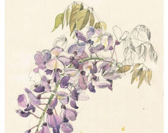 Violet Wisteria #2 Watercolour pencil drawing, botanical PRINT of Wisteria blossom, floral art by Catalina.