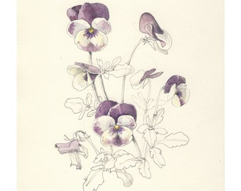 Purple Pansies drawing PRINT of Watercolor and pencil drawing of pansies flowers. Botanical art by Catalina S.A