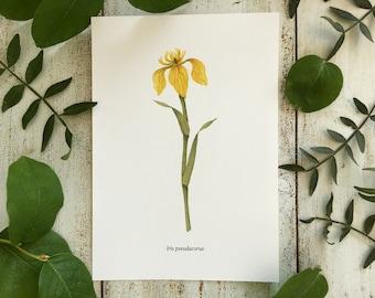 Yellow Iris - Print A5