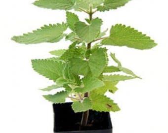 "LIVE 2 CATNIP Herb Live Plants Fit 3.5"" Pot"