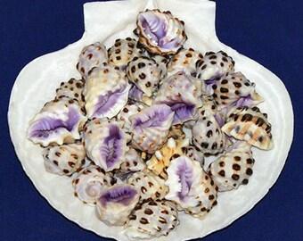 """Purple Drupa Morum Shells 1""""~ Craft/Jewelry Seashells Select ~ 10 Pcs. ~ Free Shipping ~"""