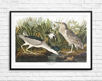 Night heron, Night herons, Heron art, Heron prints, Heron posters, Heron decor, Quabird, Quabirds, Audubon Birds, Audubon Book of American