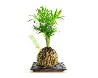 Palm ('Fresh Air' Plant) with  green moss and easy water device