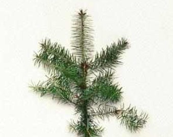 Black Pine Seedlings 10 per order