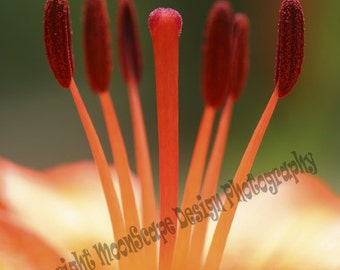 Orange Lilly Close-up Digital Image Download Stock Photography - Digital Licence Included