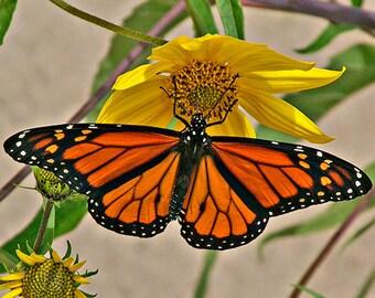 Monarch Butterfly, Wildlife Photograph, Wild Sunflower,  Orange and Black, Fine Art Print, Childrens Room Decor, Bathroom, Wall Decor