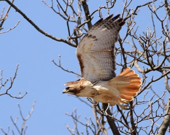 Red tailed hawk, hawk, photo, print, art, bird, birds, wildlife, photography, nature, flying, nature photography, free shipping, metal