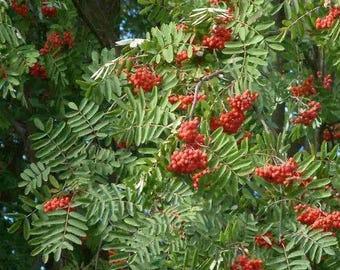 European Mountain Ash Tree Seeds (Sorbus aucuparia) 50+Seeds