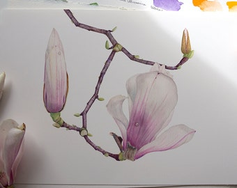 Magnolia Liliiflora. Botanical illustration. Fine art watercolor print.