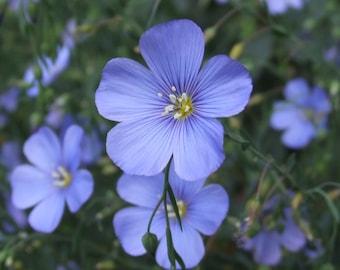 Bulk: Perennial LINUM/FLAX SEEDS - 1/4 oz seeds