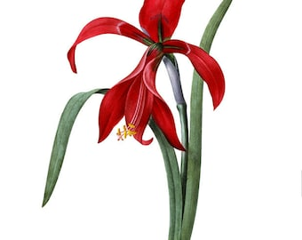 Red Amaryllis Instant High Resolution Digital Download by Redoute Wedding Flower No.2507