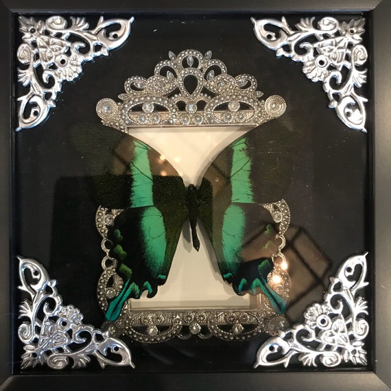 Real taxidermy macki macki butterfly display