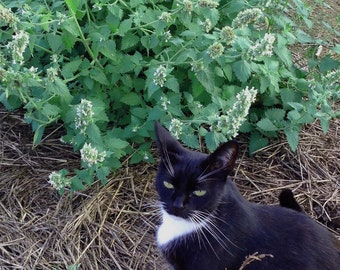 Catnip Seed, Nepeta cataria Seed, Organic Herbs, 50 Catnip Seeds, Great for Pollinator Gardens and Bee Friendly Gardening