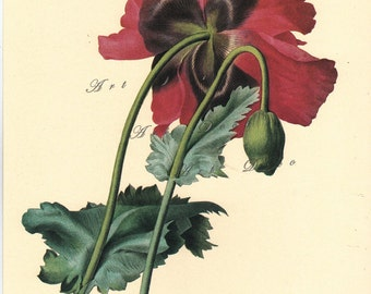 Red poppy botanical print by Pierre Redoute, vintage printable digital download  no. 1530