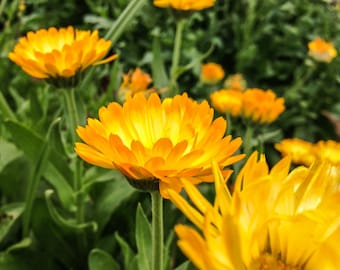 25 Organic Seattle Calendula Seeds, for Medicinal, Gardening, and Herbal Use