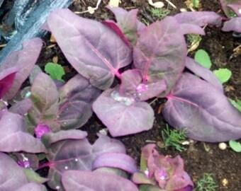 500 Seeds Orach Purple Spinach Mountain Spinach
