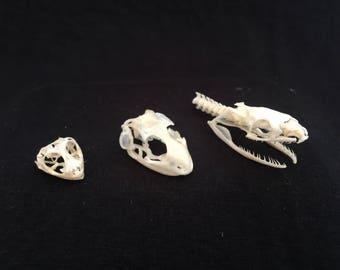 Set of three reptile skulls