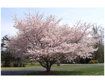 "Yoshino Cherry Tree, White Blossoms, White Flowers, Landscaping, Full Sun, Decidious Tree, 3 Plants 2.5"" Pot, Beautiful Ornamental Tree"