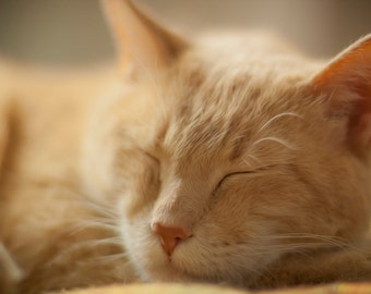 Nap Time, Again.... - Photography - Digital Download Photography- Domestic Cat Taking His Nap.