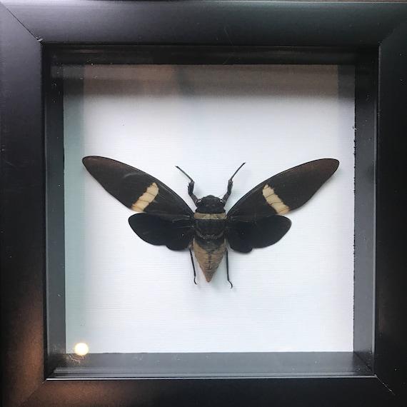 Beautiful black cicada taxidermy display!