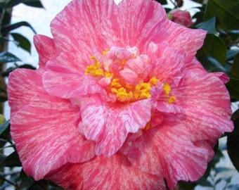 Camellia japonica 'Clown' (Quart Pot)