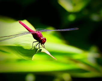 Dragonfly Photography Print, Wildlife Photo, Large Wall Art, St Lucia Wildlife, Botanical Gardens