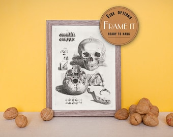 """Vintage illustration of two views of the skull including jaw detail - fine art print, art of anatomy,8""""x10"""" ; 11""""x14"""", FREE SHIPPING - 159"""