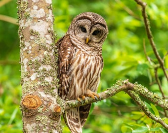 Barred owl sitting on a branch