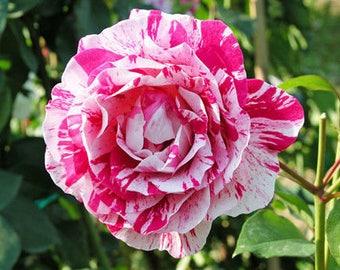 Rosa Mundi Rose Seeds - Stunning Bicolor Blooms - Rose Bush - 10 Seeds