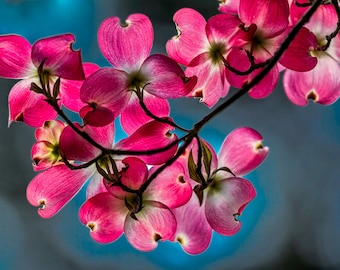 """Pink Dogwood Flower Fine Art Photography, 8x12 (and larger), """"Glowing Pink Dogwood"""" Floral Photo Print"""