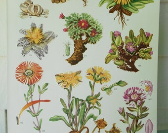 """Botanical 9X12 original page (Plate 73) from """"Wild Flowers of the World"""""""