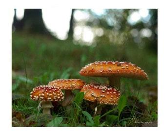 Amanita Mushroom Photograph  Mushroom Print Affordable Home Photography Prints Nature Photography Decor Woodland Scene Fungi Mycology