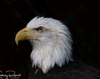 SPIRIT - Beautiful Bald Eagle Portrait of Spirit.