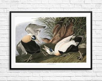 Eider duck, Eider ducks, Eider duck print, Eider duck posters, Eider duck art, John Audubon, Audubon Society, Audubon prints, bird wall art