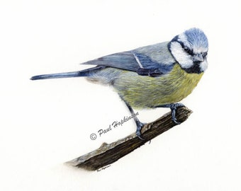 Bird Print BLUE TIT Watercolour Print, Reproduction, Chickadee Family, Wildlife Bird, A4 or A5 Size