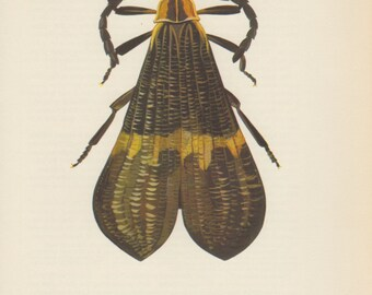 Lacewing Beetle, 1964 Old Print, Lycid Beetle, Calopteron brasiliense, Vintage Bug Print, Insect Colour Plate, Lycidae, Entomology