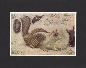 Californian Ground Squirrel Print 1918 by Louis Agassiz Fuertes Small Original Vintage Mounted Print Ground Squirrel Picture Squirrel Art