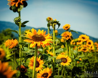 Sunflower Print, Flower Photography, Sunflower Wall Art, Farm photography, Flower Print Nature Print Sunflower Room Decor, Farm art, rustic