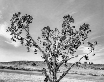 Shoe Tree,Sierra,Nevada,Desert,Lake Tahoe,Black and White,Photography,Wall Art,Home Decor,Tree,Office Decor