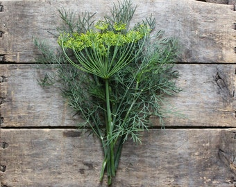 Bouquet Dill, heirloom seeds, herb seeds, organic seeds, herb garden, organic gardening, natural pest control, gardener, container garden