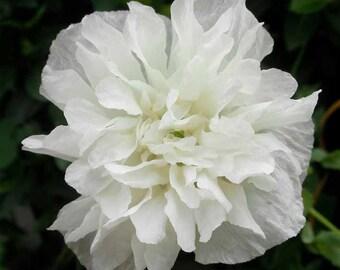 Poppy 'White Paeony' Papaver Paeoniflorum - 300 Seeds