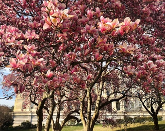 Magnolias on the Hill
