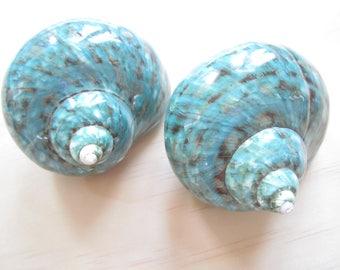 """Polished Jade Turbo Shell-3""""-1 Piece-Polished Jade Turbo Shell-Collector's Shells-Turbo Shell-Beach Wedding Decor-Polished Jade Shell-Shells"""