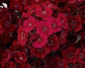 Crimson Red Sweet William Flower Seeds/Dianthus Barbatus Dunetti/Biennial    50+