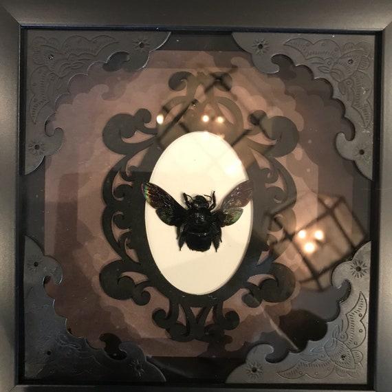 Real black carpenter bee taxidermy display!
