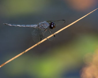 Blue On Blue ~ dragonfly, insect photo, wings, blue eyes, big, nature photo, art, photo, print, perched dragonfly, dragonfly decor