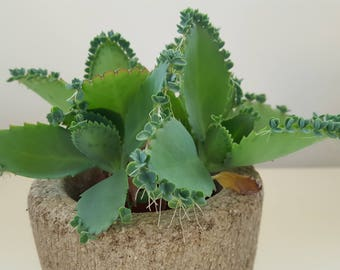 Mother of Thousands,  2 Mother of Thousands Plantlets, Seedlings, Kalanchoe daigremontiana