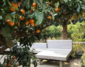 25 seeds TANGERINE Mandarin Orange Citrus Fruit Tree Seeds